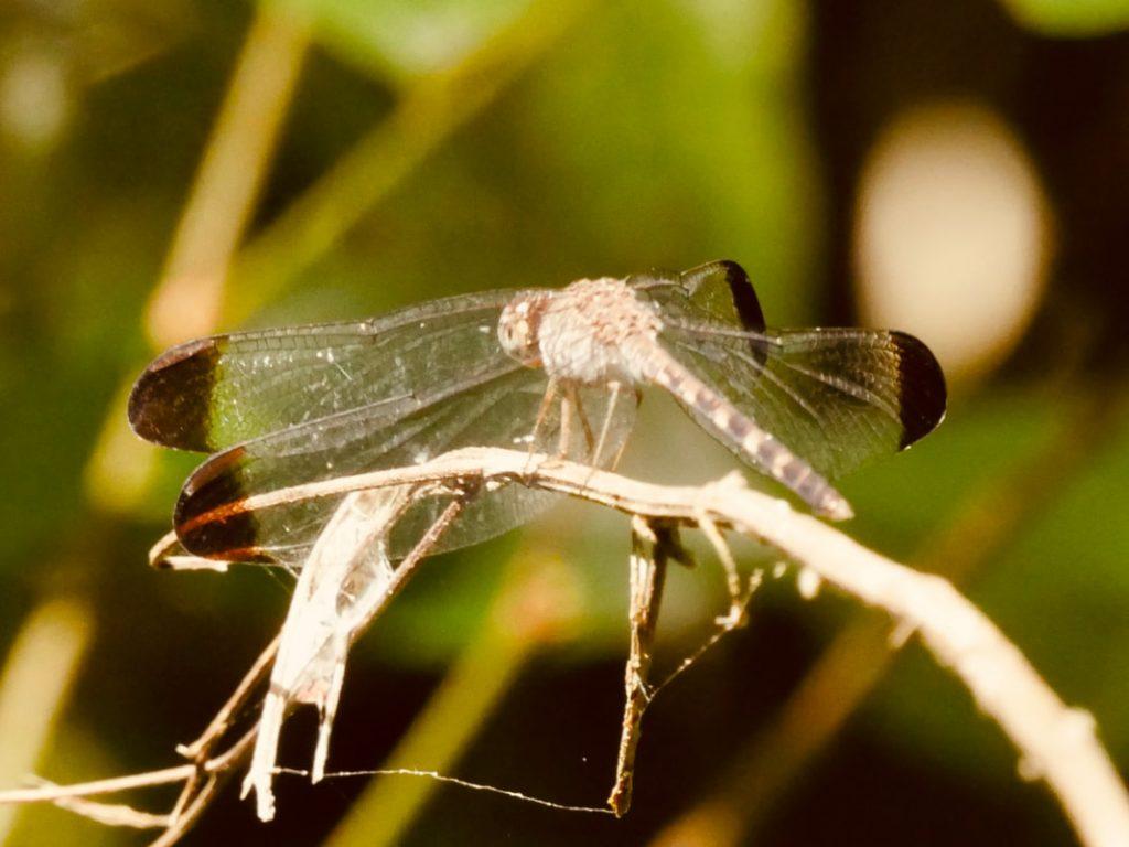 Lapa Rios Eco Lodge Costa Rica Transluscent Dragonfly