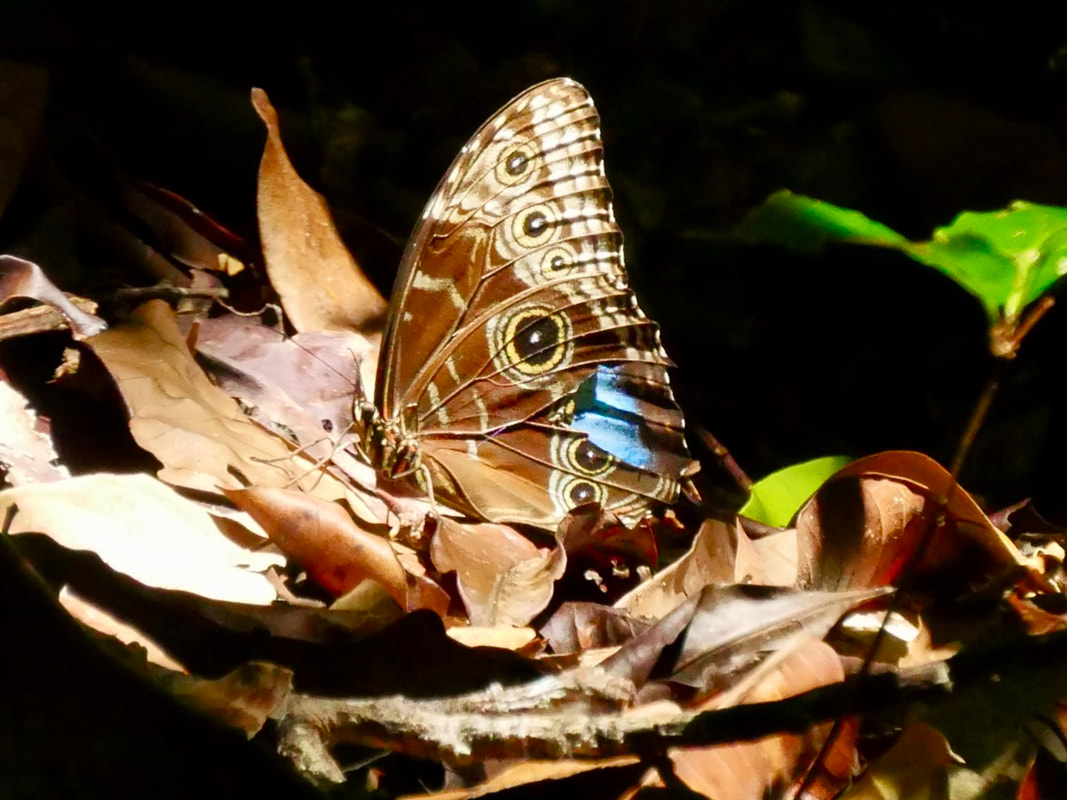 Lapa Rios Eco Lodge Costa Rica - Blue Morpho butterfly
