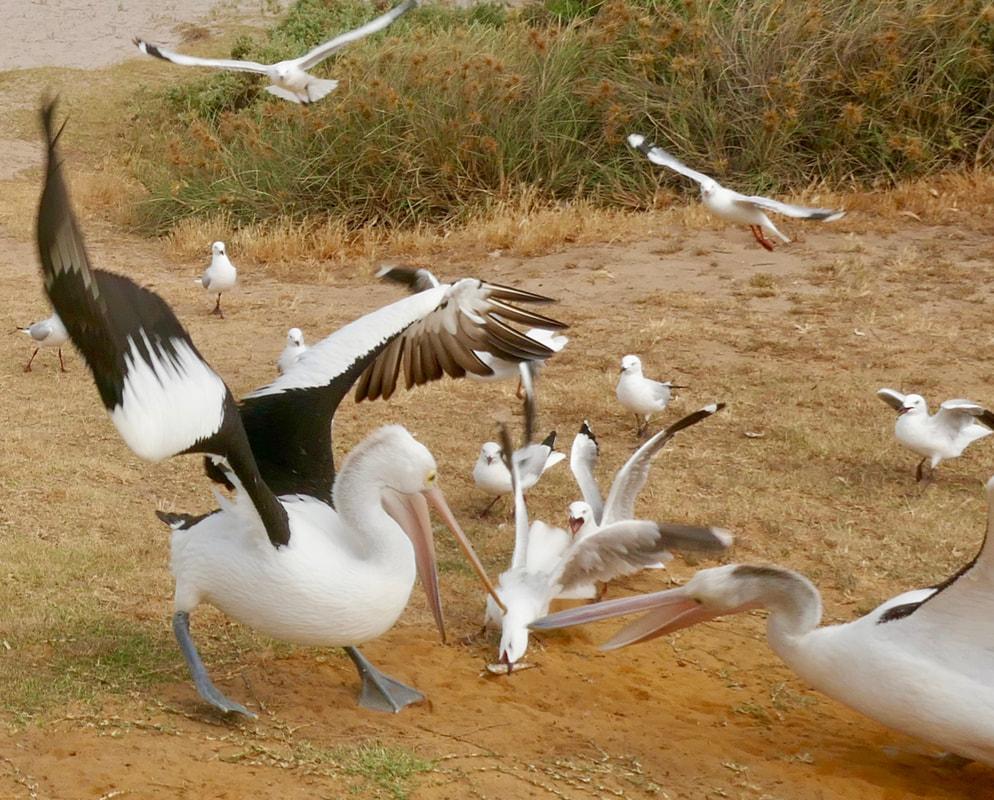 Carnarvon to Kalbarri Kalbarri Foreshore - Pelican Feeding