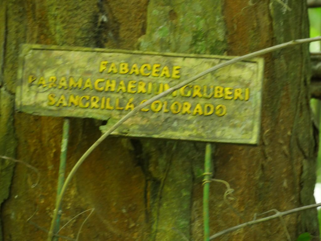 The Lapa Rios Tree - grows only here