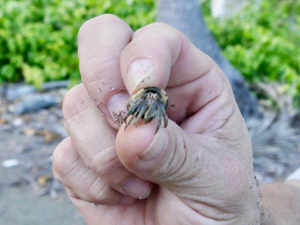 Costa Rica Fauna - Hermit Crab