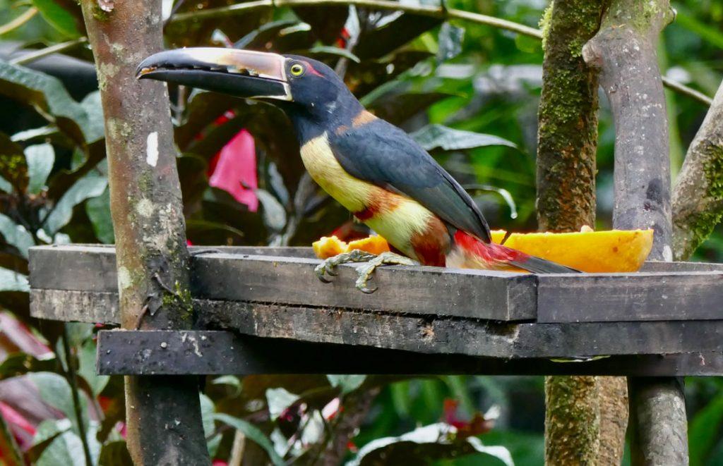 Rio Celeste Hideaway Hotel Costa Rica Toucans