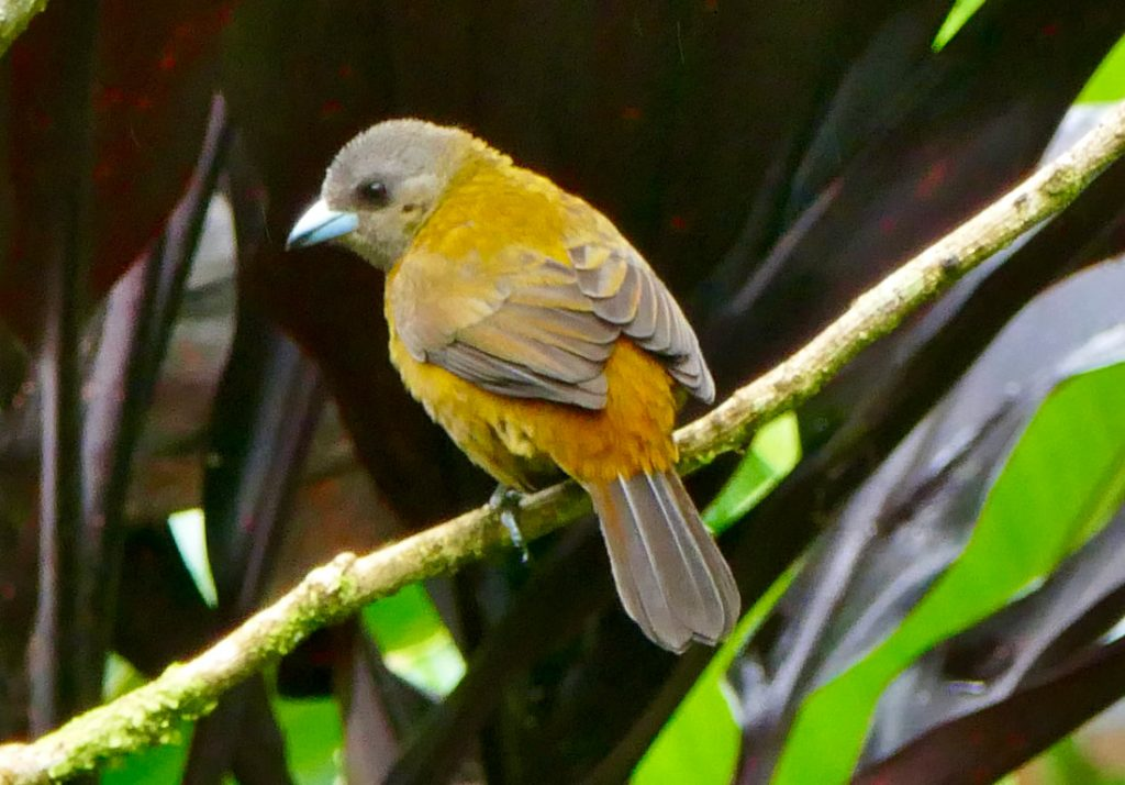 Tropical birdlife - Volcan Tenorio National Park