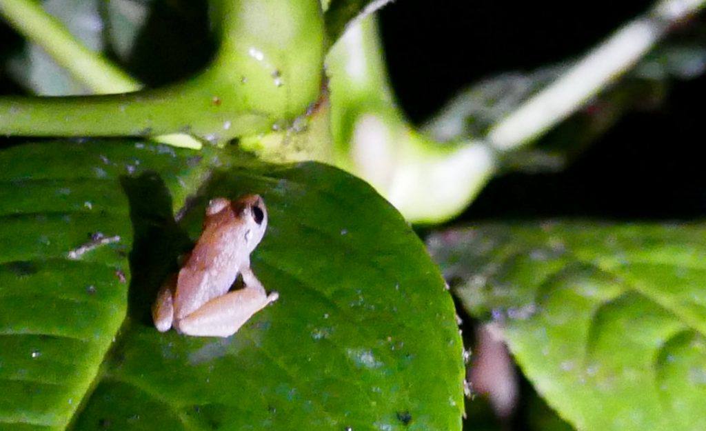 Pygmy tree frog Costa Rica