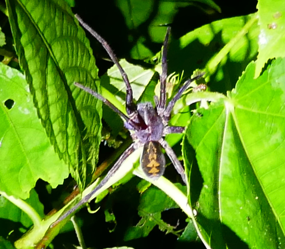 Tarantula spider Costa Rica
