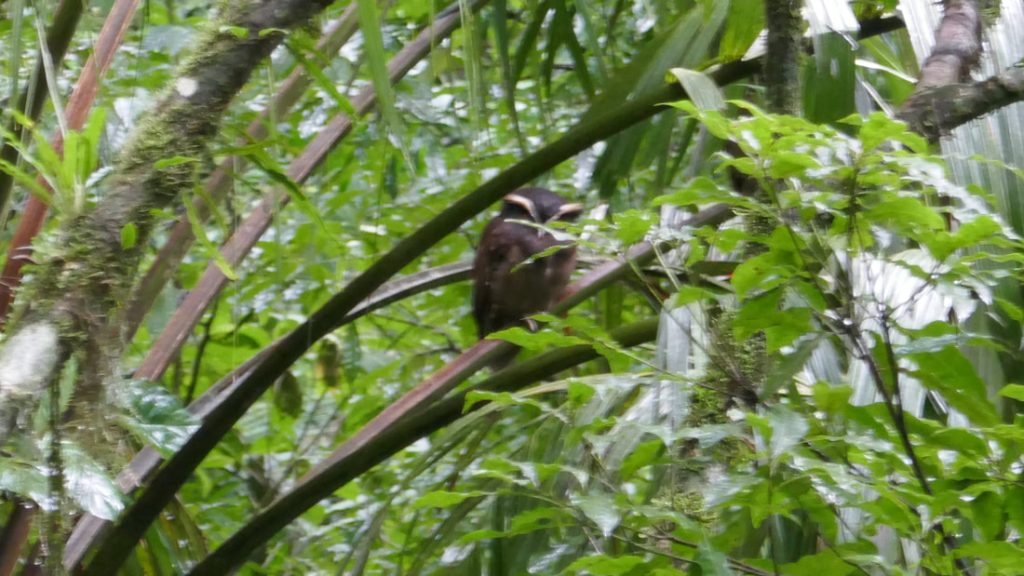 Arenal Volcano National Park Costa Rica Crested Owl