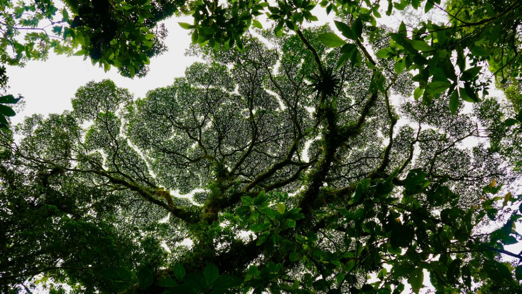 Arenal Volcano National Park Costa Rica Broccoli Trees