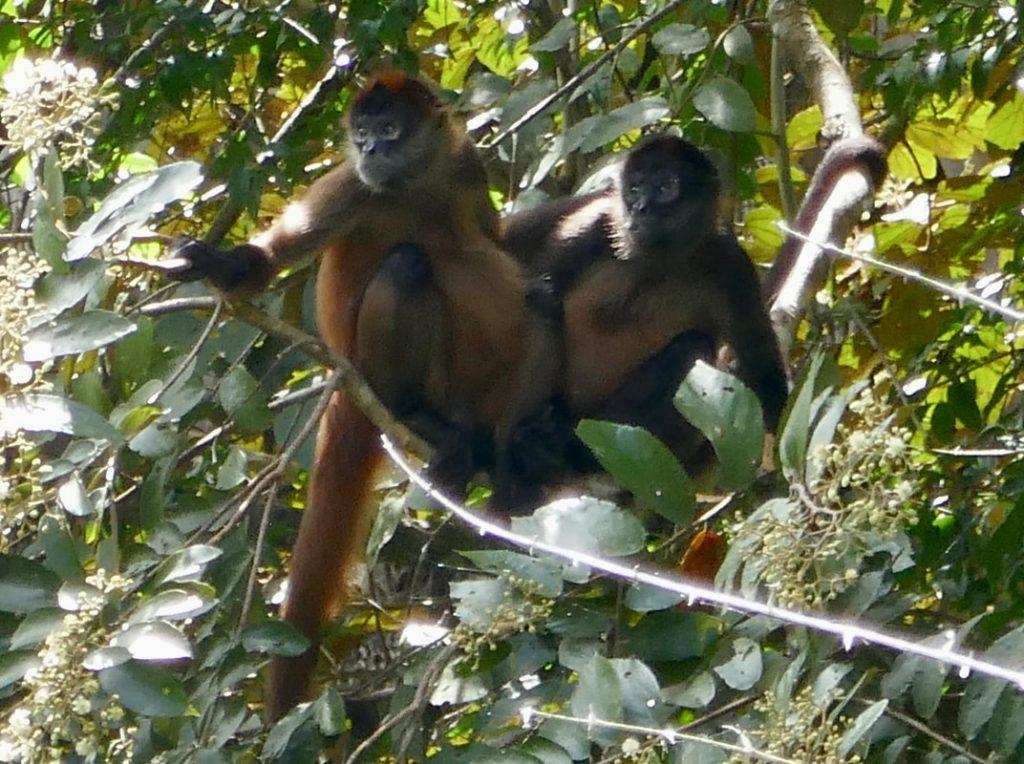Caño Negro -Frio River Costa Rica Howler Monkies