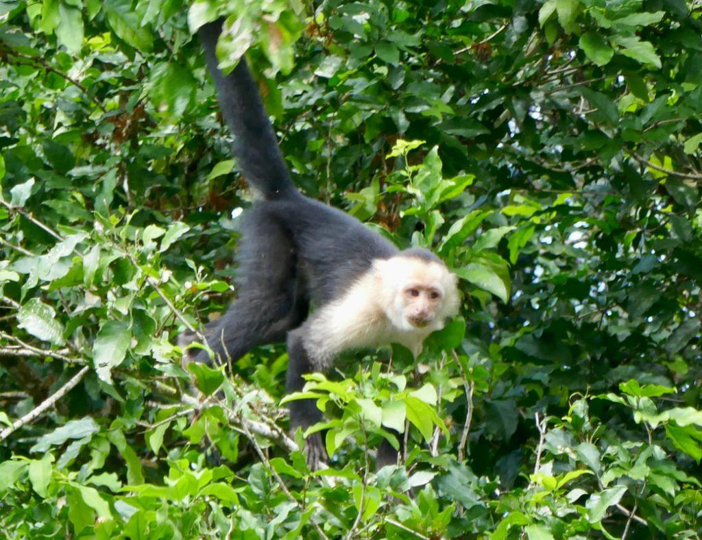 Caño Negro -Frio River Capuchin Monkey