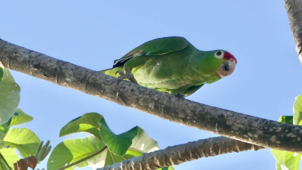 Lapa Rios Eco Lodge Costa Rica - Wildlife spotting on the terrace - Cheerful Parrot