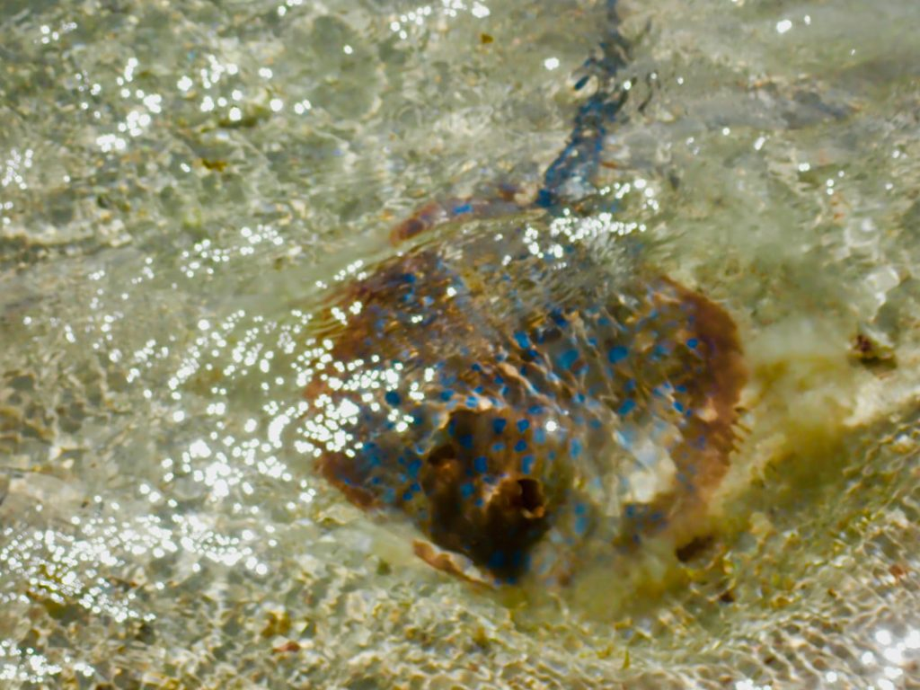 Exmouth to Carnarvon Blue Spotted Ray