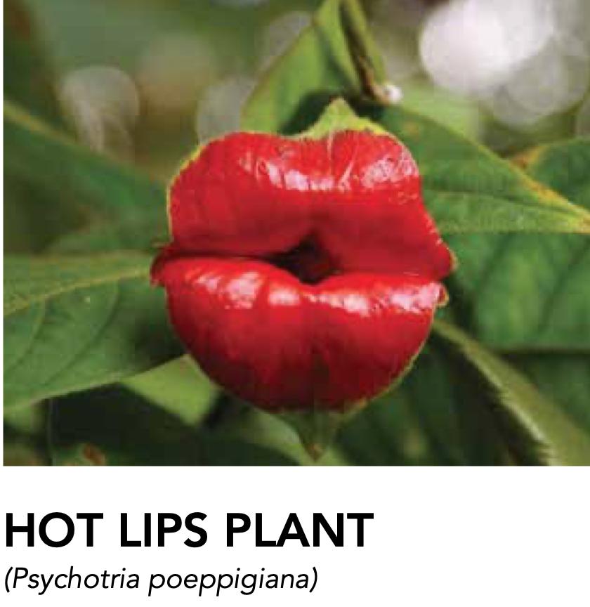 Vaya Con Dios Costa Rica! Hot Lips Plant