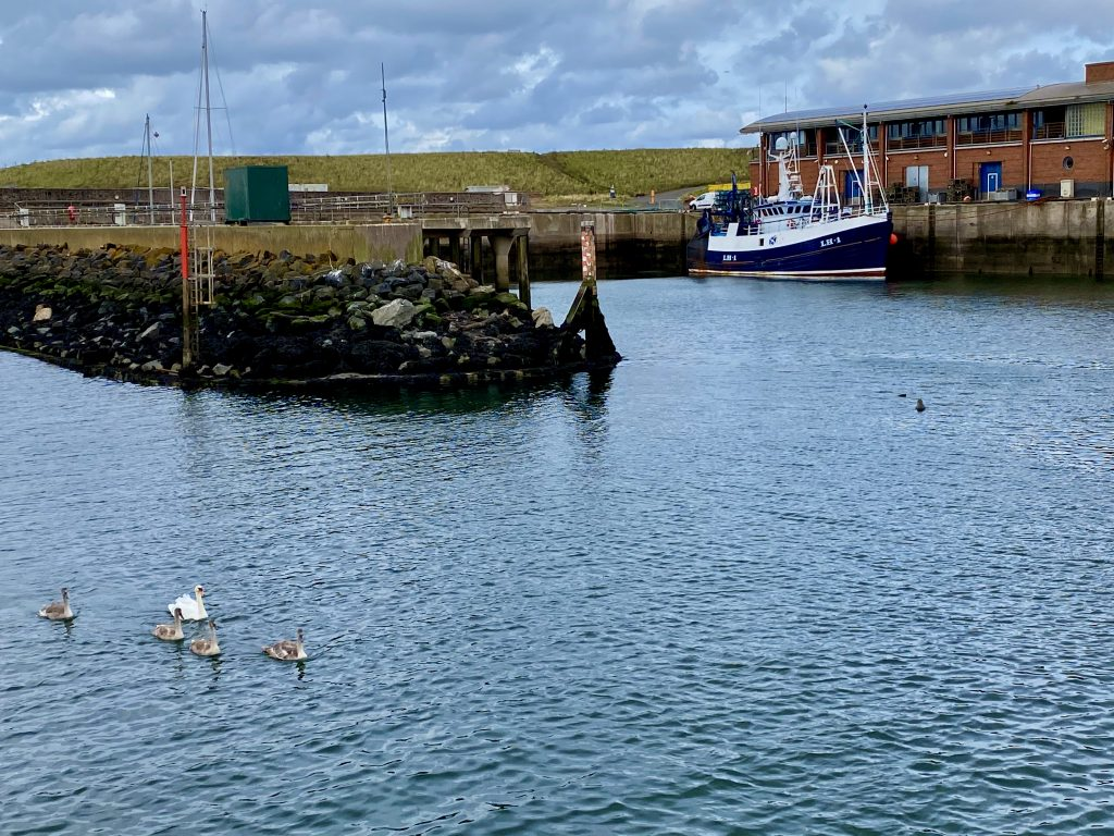 Eyemouth - Swans and Seals