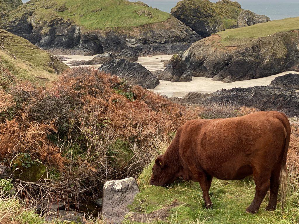 Cows at Kynance Cove