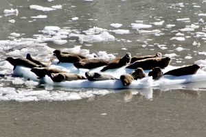 Basking Seals in Glacier Bay