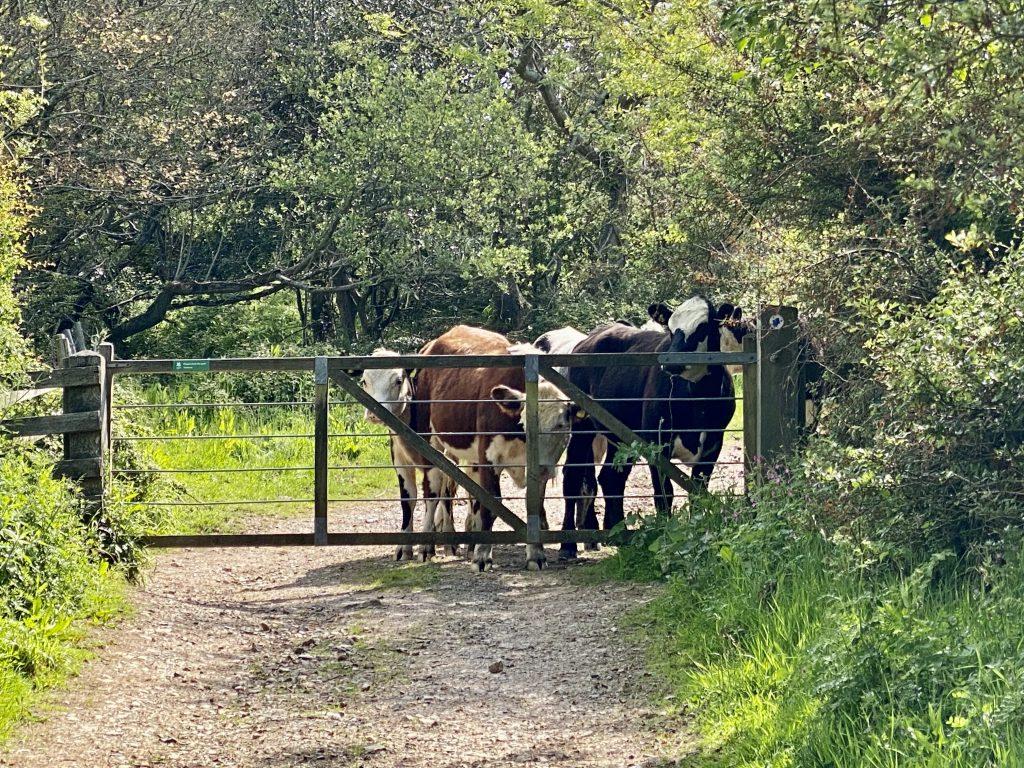 Jurassic Coast - Cows