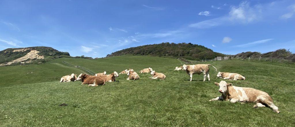 Jurassic Coast Cows