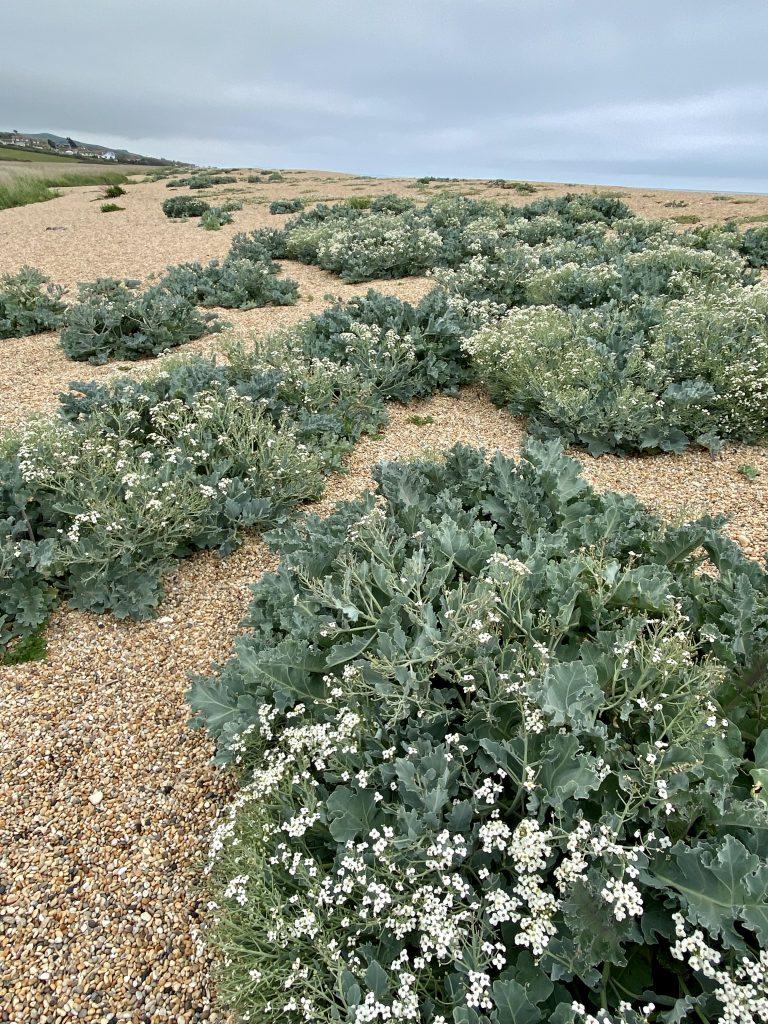 Jurassic Coast - Chesil Beach - Sea Kale