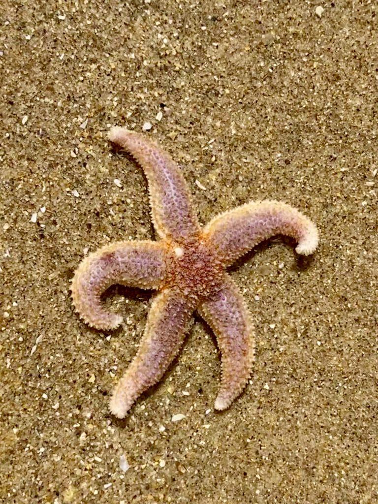 Starfish Oxwich Bay Gower