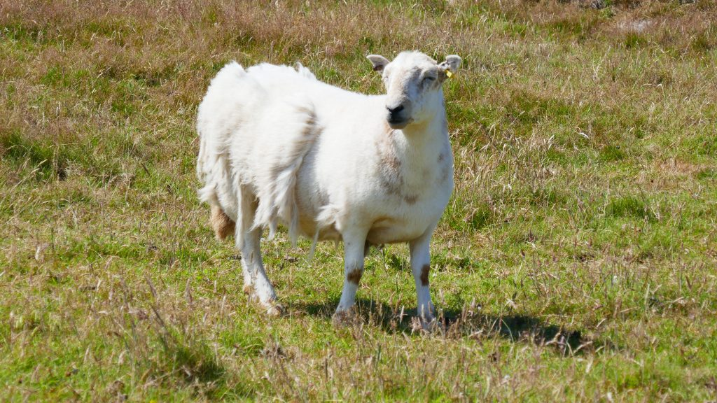 North Pembrokeshire Coast Sheep