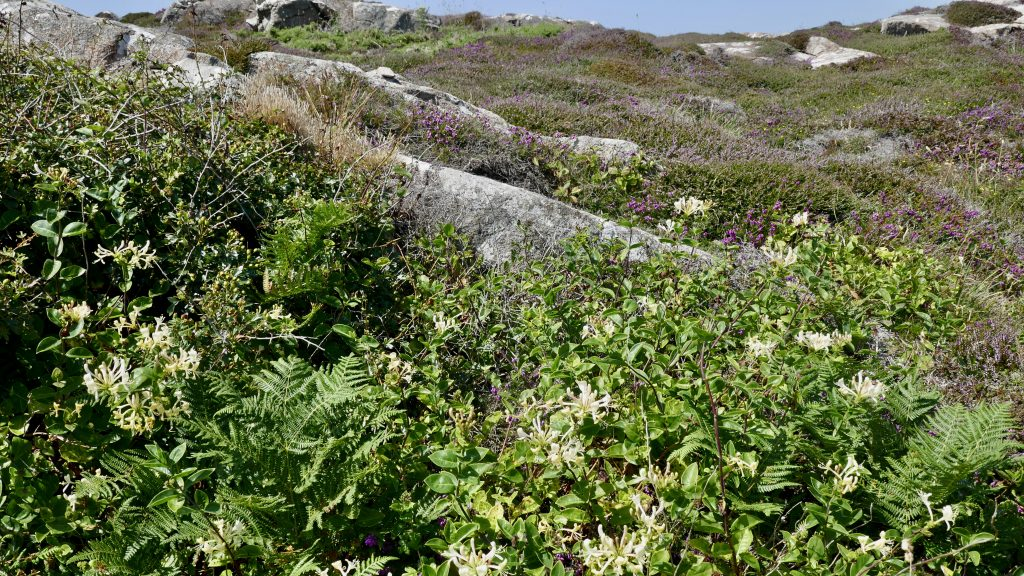 North Pembrokeshire Coast Honeysuckle