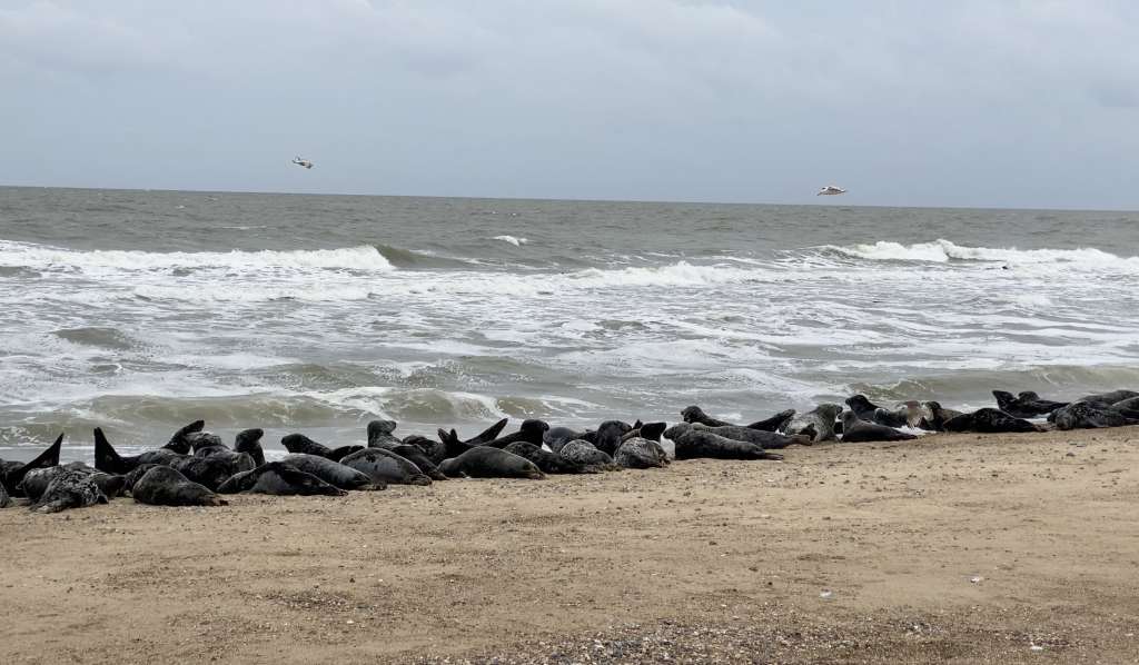 Suffolk Horsey Beach Seals